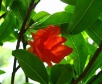 Kolesterolü Düşürmek İçin Nar Çiçeği