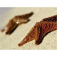 Denizyıldızı Niçin Beş Kollu?