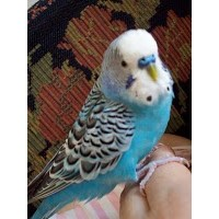 Muhabbet Kuşları Hakkında Yanlış Bilinenler