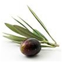 Zeytin Yaprağı Şifa Kaynağı