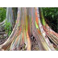 Okaliptüs Ağaçları Topraktaki Altını Emiyor