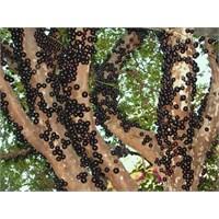 Brezilya'daki Ağaç Üzümü: Jabuticaba