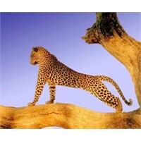 Neden Leoparların Benekleri Var?
