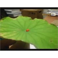 Lotus Yaprağı Ve Nano Teknoloji