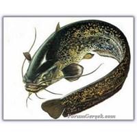 Yayın Balığı (Silurus Glanis)