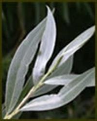 Zayıflatan Bitki - Aksöğüt Kabuğu