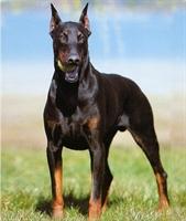 Doberman Köpeğinin Özellikleri Ve Bakımı