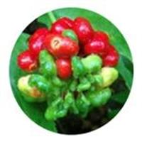 Gingseng Bitkisi Ve Yararları