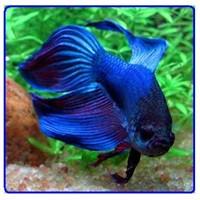 Beta Balığı Yavru Bakımı