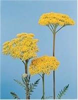 Şifalı Bitkiler :civan Perçemi