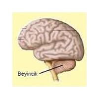 Beyincik Tümörü, Sarkması, Hastalıkları, Küçülmesi