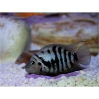 Zebra Ciklet Balığı