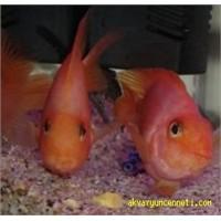 Papağan Cichlid Balığı