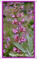 Adaçayı (salvia Officinalis) Faydaları