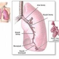 Akciğerlerin Anatomi Ve Fonksiyonları Nedir