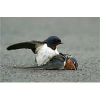 Kuşların Gizli Katili: Sakız