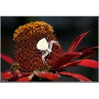 Beyaz Örümcek (M. Vatia)