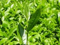 Yeşil Çay Ve Siyah Çay Arasında Ne Fark Var?