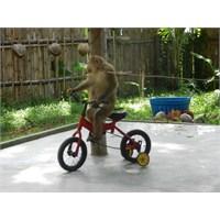 Phuket'te Maymun Şov Görüntüleri