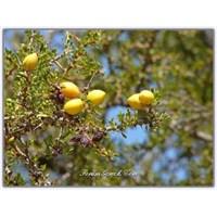Argan Yağının Faydaları | Argonia Spinosa