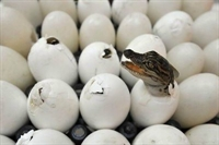 Yavru Timsah'ın Yumurtadan Çıkışı