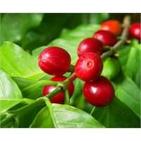 Peru'lu Kahve Üreticileri Zorda
