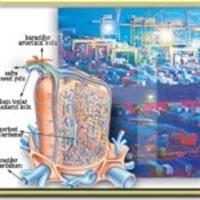 Akciğer Ödeminin Bitkisel Tedavisi