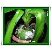 Ada Soğanı (Scille) Faydaları