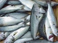 Balık Nasıl Alınır Ve Saklanır?