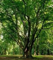 Kayın Ağacı Nın Faydaları