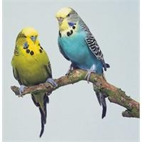 Muhabbet Kuşlarının Genel Özellikleri