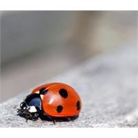 Boşuna Uğur Böceği Dememişler