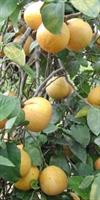 Bergamotun Faydaları, Çayı, Yağı Ve Esansı