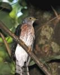 Guguk Kuşu Ve Ötleğen