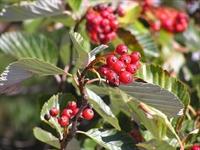 Son Yılların Aranan Meyvesi Üves