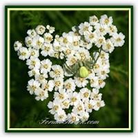 Civanperçemi Ve Faydaları (Achillea Millefolium)