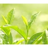 Yeşil Çay Yağı Ve Cilt Bakımı
