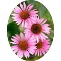 Ekinezya Echinacea Bitkisi