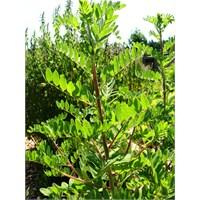 Kış İçin Mucize Bitki Astragalus