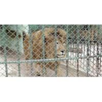Hayvanat Bahçeleri Ya Da Bahçesi Olmayan Hayvanlar