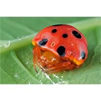 Uğurböceği Görünümlü Örümcek; Paraplectana