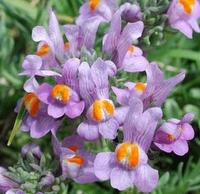 Şifalı Bitkiler - Nevruz Otu Ve Faydaları