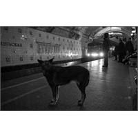 Moskova'da Sokak Köpekleri Daha Zeki Hale Geliyor!