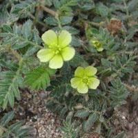 Bitkisel Doğal Viagra Üretildi