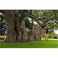 Dünya'nın En Yaşlı Ağacı: Limpopo