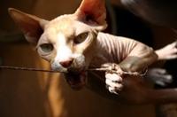 Sfenks: Genetik Hata Sonucu Çıkan Kedi Türü