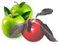 Elma Ye Kanseri Yen