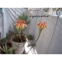 Aloe Vera (Sarisabir) 'min Çiçek Serüveni