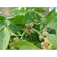 Antioksidanlar:ashwagandha