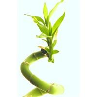 Bambu Çiçeği Nasıl Yetiştirilir ?